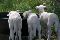 At the water trough (baalands) Tags: water hair sheep drinking lambs dairy ram thirsty katahdin trough crossbred lacaune