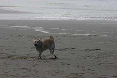 All Photos-9286 (jlh_lunasea) Tags: ocean dog beach romeo manzanita huskador