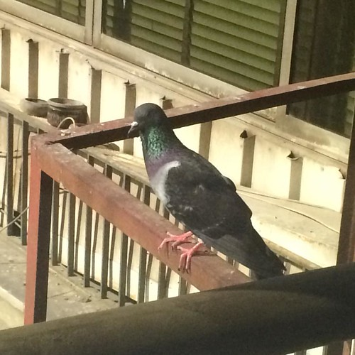 Earlier Wednesday I found that #pigeon standing like that outside the window #Cairo #Egypt