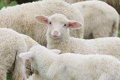 ...e domani fatevi un'insalata ! (margot 52) Tags: pasqua gregge agnelli nongmosansogm