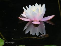 water lily ( Graa Vargas ) Tags: flower waterlily spia nenfar graavargas nymphaeacaerulea lriodgua 2016graavargasallrightsreserved