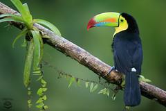 Toucan (Megan Lorenz) Tags: travel november wild bird nature toucan rainforest costarica wildlife getty raining avian centralamerica wildanimals keelbilledtoucan 2015 mlorenz meganlorenz