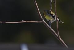DSC_1526 (beginj) Tags: canada bird chardonneret
