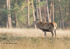 Edelhert / Cervus elaphus (m.ritmeester) Tags: groen ngc bruin gelderland naturelovers hoenderloo edelhert