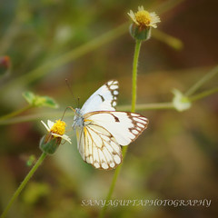 Butterfly....... [P2] (sanyagupta09) Tags: love nature beautiful butterfly photography niceshot insects photooftheday bestshot naturelover sonyalpha