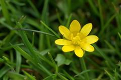 Aconite (aydanfavre) Tags: flower green grass spring yellowflower aconite yellowaconite