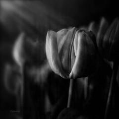 fleur du jour (jd weiss) Tags: hasselblad500cm distagon50mm