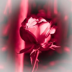 Lucrezia (Jack o' Lantern) Tags: roses rose lucrezia masterphotos