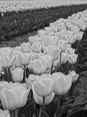 Un champ de tulipes /// A field of tulips (Hlne_D) Tags: blackandwhite bw plant france flower fleur field plante noiretblanc nb paca tulip provence hdr champ tulipe alpesdehauteprovence fieldofflowers lurs provencealpesctedazur fieldoftulips hdrpicture champdefleurs photohdr labrillane champdetulipes hlned