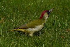 Green Woodpecker (paulinuk99999 - just no time :() Tags: green bird grass woodpecker none wildlife ground paulinuk99999 sal70400g