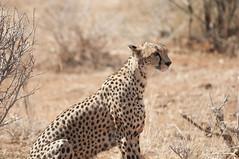 Cheetad (1mrz) Tags: africa wild animal nice natura felino cheetah kenia guepardo salvaje