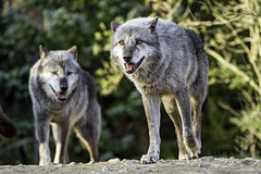 Two timberwolves (Tambako the Jaguar) Tags: two cliff dog black rock stone germany walking zoo nikon wolf gray canine hannover canadian together openmouth hanover pacing observing timberwolf d4 canid