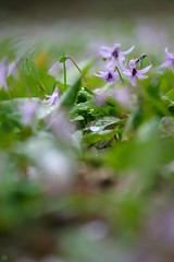 20160403-DSC_5983.jpg (d3_plus) Tags: sky plant flower macro nature rain japan walking nikon scenery waterdrop bokeh hiking drop daily telephoto rainy bloom  tele nikkor  wildflower  kanagawa   dailyphoto   thesedays 80200mm 80200 sagamihara   dogtoothviolet       8020028 zoomlense 80200mmf28d shiroyama  80200mmf28   erythroniumjaponicum     80200mmf28af d700  nikond700  aiafzoomnikkor80200mmf28sed dogtoothvioletvillage