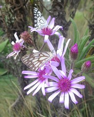Butterflies on flower (John Steedman) Tags: africa flower trek butterfly kenya butterflies papillon afrika mariposa kenia schmetterling afrique eastafrica mountkenya ostafrika     afriquedelest