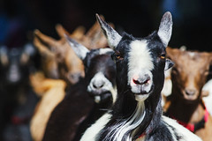 The Running of the Goats (C McCann) Tags: canada animal animals race bc britishcolumbia goat running run victoria vancouverisland goats sprint beaconhill ofthe childrensfarm
