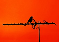 Bird Sitting On Antenna (missgeok) Tags: bird beautiful lines silhouette composition one tv cool focus colours outdoor sydney australia antenna bold brightcolour blackonred