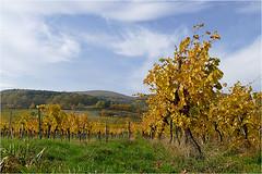 Goldener Oktober 02 (lady_sunshine_photos) Tags: austria europa herbst niedersterreich mdling weingarten herbstfrbung