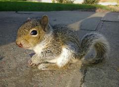 Baby Squirrel (deanhammersley) Tags: baby cute abandoned animal animals lost furry squirrel little small adorable cuteanimals babysquirrel babyanimals furryanimals