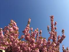 Bahar (sema3434) Tags: pink blue sky tree spring blossom mavi bahar gkyz iek aa tomurcuk pembe