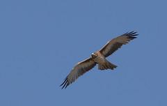 little eagle (Hieraaetus morphnoides)-7936 (rawshorty) Tags: birds australia canberra act jerrabomberrawetlands rawshorty