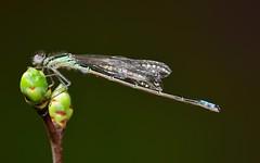 Eastern Forktail (male) damselfly (nikomelos) Tags: is unreal ail