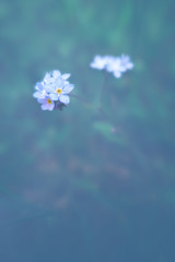 Memory flower (Dejan Hudoletnjak) Tags: blue plant flower macro nature soft dof blossom myosotis