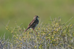 Belding's Savannah Sparrow (martytdx) Tags: ca birds lifelist sandiego sparrow imperialbeach breedingplumage savannahsparrow emberizidae passerine passerculus tijuanariverestuary beldingssparrow passerculussandwichensisbeldingi beldingssubspecies passerculusrostratussandwichensisrostratusbeldingi