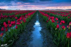 The Smell of Rain (Chris Williams Exploration Photography _) Tags: flowers rain fog washington spring rainbow tulips foggy pacificnorthwest thunderstorm tulipfestival chriswilliams induro fstoppers sonya7r skagitrivervalleytulipfestival