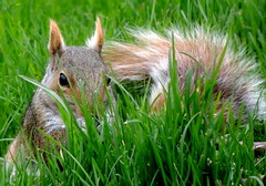 Squirrel (S.E.A. Photography) Tags: ontario canada green nature grass animals rodent spring squirrel wildlife