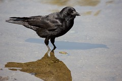 Cooling His Heels (Stirrett6) Tags: crow northwestern corvid jerichopark