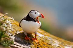 Atlantic Puffin (HoustonHVAC170) Tags: ocean blue ireland sea sky green bird beach water beautiful beauty birds animals scotland iceland wildlife puffin puffins
