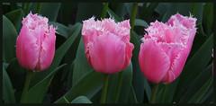 013716 2016 9 April Keukenhof Lisse C (Ria en Reinier) Tags: flowers plant nature spring flora tulips outdoor thenetherlands blumen frame bloemen keukenhof tulpen bloem tulp voorjaar boder