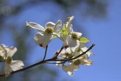 Dogwood (Read2me) Tags: flowers spring dof she cye white bluesky ge thechallengefactorywinner pregamesweepwinner pregameduelsweepwinner