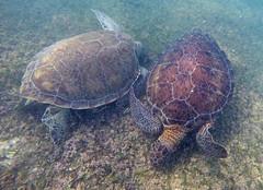 Two sea turtles in Akumal Bay (benjaminfish) Tags: beach mexico riviera maya tulum yucatn peninsula roo quintana 2016