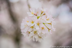 The cherry blossom of 2016, part 1/3 (JdJ Photography (www.jdj-photography.nl)) Tags: city haven west holland tree netherlands leaves amsterdam work europa europe day afternoon cloudy bokeh harbour nederland boom depthoffield cherryblossom daytime blaadjes dag job mokum continent bewolkt province stad werk lunchbreak noordholland softlight middag baan benelux hss amsterdamwest randstad kersenbloesem provincie northholland scherptediepte overdag lunchpauze hornweg havenswest zachtlicht