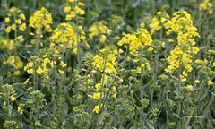 09-IMG_9903 (hemingwayfoto) Tags: energie landwirtschaft feld gelb blte raps blhen bruchriede
