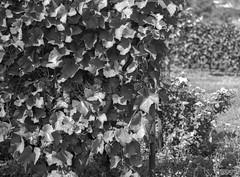 Young Wine (fs999) Tags: camera blackandwhite bw film home rollei stand blackwhite 645 noiretblanc pentax scanner nb retro 80s epson paintshoppro filmcamera 6x45 development cl perfection corel noirblanc aficionados pentaxist 75mm artcafe caffenol v500 retro80s blackwhitephotos 3200dpi 645n 80iso pentaxian ashotadayorso justpentax topqualityimage zinzins topqualityimageonly fs999 fschneider pentaxart betterscanning fa75 60x45 pentaxfa64575mmf28ed rolleiretro80s x8ultimate paintshopprox8ultimate