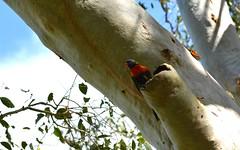 nesting pair (dustaway) Tags: nature nest pair australia nsw rainbowlorikeet nesting lismore australianbirds trichoglossus northernrivers psittaculidae lismorerainforestbotanicgardens