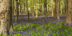 Rhapsody in Blue (grbush) Tags: flowers blue trees tree nature bluebells forest woodland woods flora northamptonshire bluebell beech bluebellwoods beechforest cotonmanor dt30mmf28macrosam sonyslta77