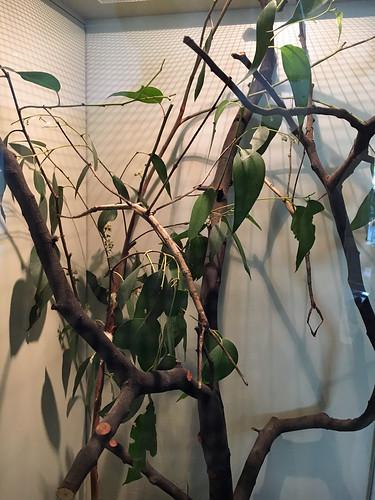 Large ones - Ctenomorpha gargantua