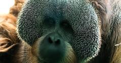 249/365 (Gene1138) Tags: canon orangutan louisville louisvilleky louisvillezoo canon70d canon28300mmeff3556l