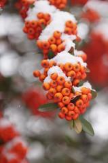DSC09301 (Mustafa Urfalı) Tags: winter snow macro true bokeh 28 vivitar 90