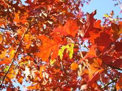 Acer palmatum 'Bloodgood' (singinghedgehog) Tags: autumn colour maple large acer wisley rhswisley palmatum bloodgood