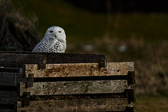 Snowy Owl Behind the Compost Heap (20160111-142520-PJG) (DrgnMastr) Tags: cropped noahsark mc1 coth snowyowls brilliantnature avianexcellence diamondclassphotographer flickrdiamond eiap naturesspirit damniwishidtakenthat coth5 theshootingstars dmslair sunshinegroup opticalexcellence grouptags allrightsreserveddrgnmastrpjg oegla pjgergelyallrightsreserved