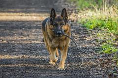 Dog Walk2 (FurtiveOutsider) Tags: dog pet forest out outside shepherd path walk german stick germanshepherd alsatian gsd