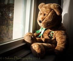 I have my own winter coat (HTBT) (13skies) Tags: bear winter brown window glass outside sitting looking dream wintercoat teddybear wish longing htbt