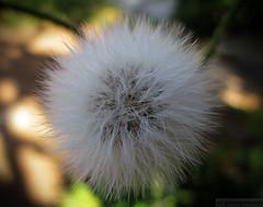 Dandelion (gjaviergutierrezb) Tags: hairy planta garden flor jardin dandelion peludo taraxacum profundidaddecampo airelibre blowball dentdelion dientedeleon cochet cankerwort couronnedemoine déliceprintanier
