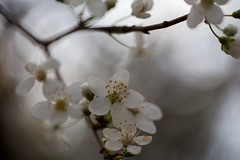 (juli_ei) Tags: winter canon ast blossom bokeh makro blte baum frhling 6d zweig eos6d ef100mmf28lmacroisusm