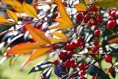Beautiful but Dangerous! (Jim Atkins Sr) Tags: plant toxic nc berries sony northcarolina poison poisonous nandina newbern newbernnc nandinadomestica cravencounty sonya58 sacretbamboo