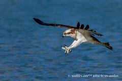 IMG_2573 (sullivan) Tags: nature animal taiwan sullivan  osprey    ef300mmf4lisusm   canoneos7d   newtaipeicity    adobephotoshoplightroom5 suhaocheng